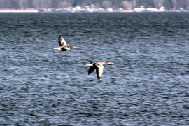 Zugvögel im Tiefflug