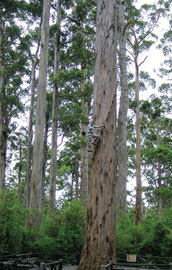 Western Australia, Warren National Park: Malcolm Kirk climbing the 68 m. (223 ft) tall karri tree named Dave Evans