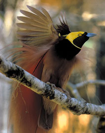 PNG: a male Raggiana Bird-of-paradise (Paradisaea raggiana) hops on a branch and displays its plumage during a courtship display