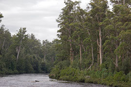 Tasmania: eucalyptus forest bordering the Huon river near the Tahune Air Walk