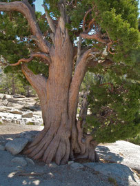 California, Yosemite NP: a stunted Sierra juniper at Olmstead Point on the Tioga Pass road