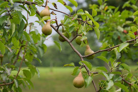 One of our Bosc pear trees (August 2013)