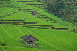 Bali: rice terraces at Jatiluwih