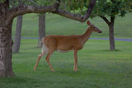 A female white-tailed deer, one of a large herd that feeds on grasses and fallen fruits around our barn