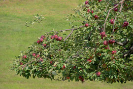 Another heavily laden apple tree (August 2013)