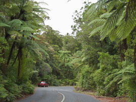 New Zealand, Northland: roadside tree ferns in Waipoua forest