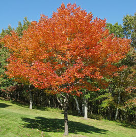 Fall foliage display on a young sugar-maple tree (Oct. 2008)