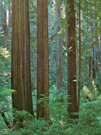 California, Prairie Creek Redwood State Park: trees alongside Newton Drury scenic parkway