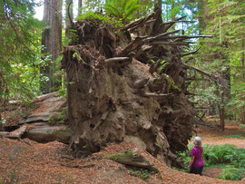 California, Avenue of the Giants: root system of a toppled redwood tree