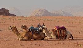 Jordan, Wadi Rum: camels