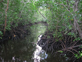 Tanzania, Zanzibar island: mangrove swamp by the Jozani Forest reserve
