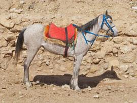 Jordan, Petra:a horse