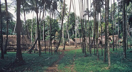 PNG, Trobriand Islands: Kapwani village set in a clearing and surrounded by betel nut and coconut palms