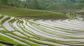 Bali, Tabanan: rice terraces in vicinity of Maseke