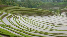 Bali, Tabanan: rice terraces in vicinity of Maseke