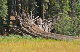 California, Sequoia National Park: a fallen tree in Crescent Meadow