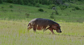 Tanzania, Selous game reserve: a hippo crossing dry land