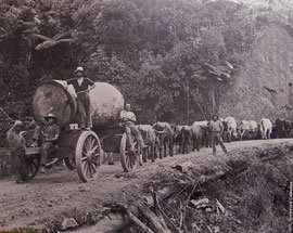 New Zealand, Northland: old photo of loggers at work (Kauri Museum)
