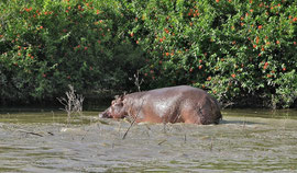 Tanzania, Selous game reserve: a hippo in the Rufiji river