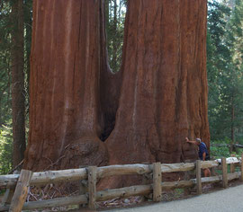 California, Kings Canyon: sequoias in Grants Grove