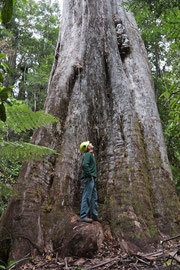 Tasmania, Picton: Shane Burgess at the base of an E. regnans (swamp gum) named Centurion (99.6 m tall x 405 cm girth), the world's tallest hardwood tree