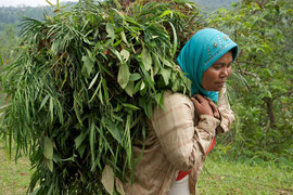 Java, Megalang/Windusari area: a Muslim woman carrying fodder, Windusari  area