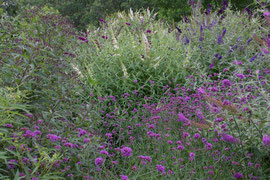 Buddleia bushes and verbena plants in our hummingbird / butterfly garden (August 2013)