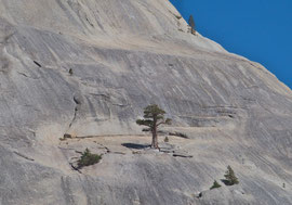 California, Yosemite National Park: a Western white pine growing on Pywiack Dome, near Lake Tenaya on the Tioga Pass road