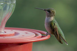 A juvenile male ruby-throated hummingbird