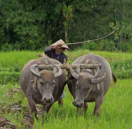 ava, Borobudur-Megalang area: water-buffalo team plowing a rice paddy