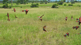 Tanzania, Selous game reserve: flocks of carmine bee-eaters accompanied us across the grassland