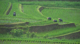 Bali: women working in the rain on rice terraces at Jatiluwih