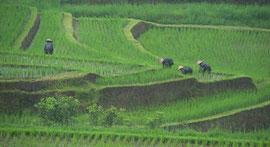 Bali: women working in the rain on rice terraces at Jatiluwih