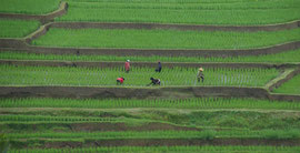 Bali: women working on rice terraces at Jatiluwih
