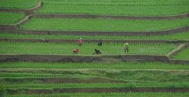 Bali: women working on rice terraces at Jatiluwih