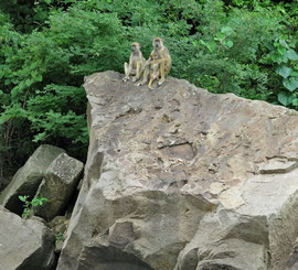 Tanzania, Selous game reserve: a family of yellow baboons atop a boulder by the Rufiji river