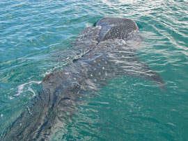 Tanzania, Mafia island: the largest whale shark seen in Tanzanian waters measured about 21 metres, around 70 feet