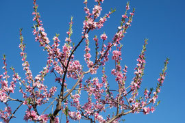 Blossoms on one of our peach trees (May 2013)