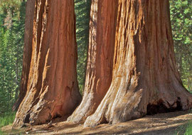 California, Yosemite National Park: sequoias named the Bachelor and Three Graces in Mariposa Grove