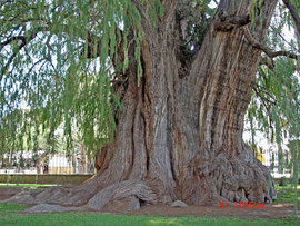 Mexico: the smaller cypress (taxodium) tree at Tule, near Oaxaca