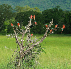 Tanzania, Selous game reserve: carmine bee-eaters