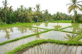 Bali, Ubud: reflections in rice paddies near the Sari Organic restaurant