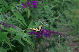 A swallowtail butterfly on a Buddleia flower