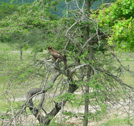 Tanzania, Selous game reserve: a Tawny eagle