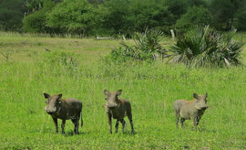 Tanzania, Selous game reserve: three skittish wart-hogs