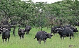 Tanzania, Klein's Camp: a buffalo herd