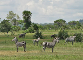 Tanzania, Selous game reserve: a small herd of zebras, with wildebeests behind