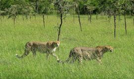 Tanzania, Klein's Camp: male cheetahs