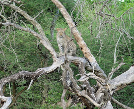 Tanzania, Selous game reserve: a leopard in a tree