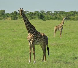 Tanzania, Klein's Camp: a pair of curious giraffes